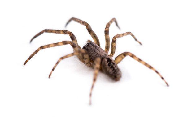 Plagas: Vehículos de contaminantes y amenazas contra la inocuidad [Arañas]