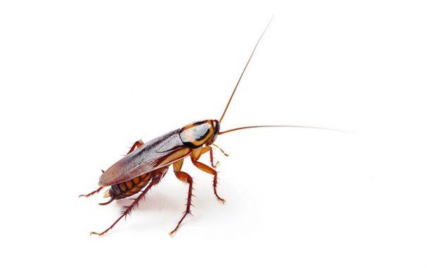 Serie Plagas: Cucarachas.