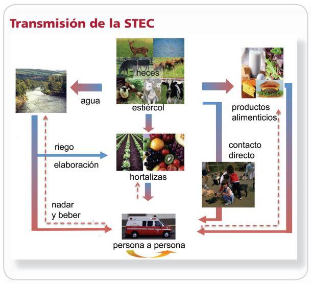Transmisión de la STEC.