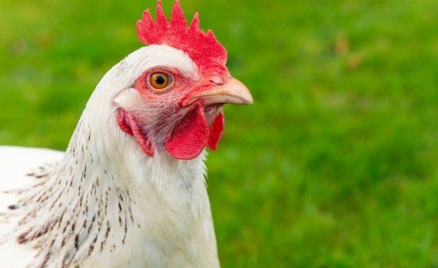 Riesgos en el sector avícola