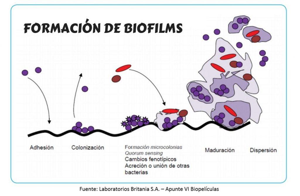 Biofilms en la industria alimentaria. Formación.